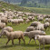 Sheep farm in Dachigam no threat to Hangul